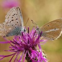 2 Bläulinge auf Flockenblume